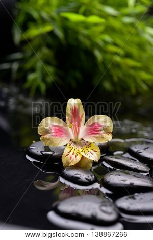Yellow orchid with stones and green plant