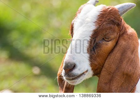Closeup portrait of a goat in farm