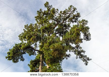 VILAFLOR SPAIN - JANUARY 15 2016: Pino Gordo biggest Canary Island pine or Pinus canariensis tree in the world. 45 meters high and approximately 700 years old.