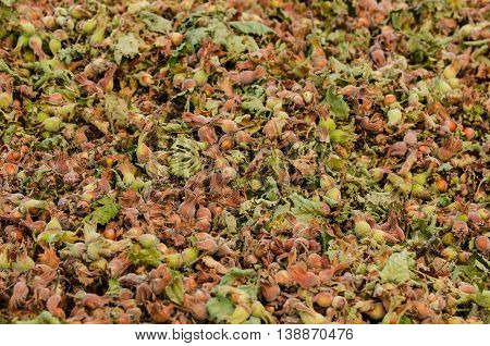Raw hazelnuts on the ground after the harvest