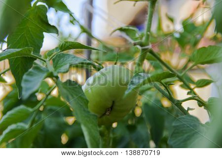 Green tomatoes on the bushes near a private house
