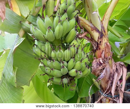 green banana stalk hanging on tree, Songkhla, Thailand