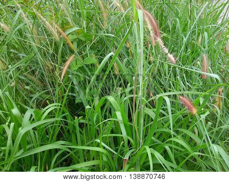 tangle of uncut, wild native grass with tassels, growing by the road, Songkhla, Thailand