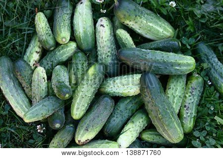 Bunch of fresh pickled home grown organic cucumbers laying on the grass
