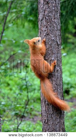 Little red squirrel climbs up trunk of pine tree in gloomy rainy day. Background is blurred