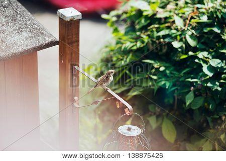 Tree Sparrow At Bird Feeder In Garden