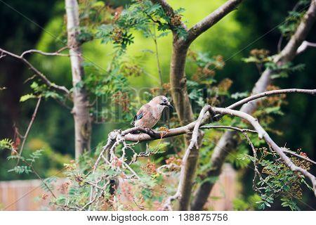 Eurasian Jay (garrulus Glandarius) Perched On A Tree Branch In Dutch Garden In Summer