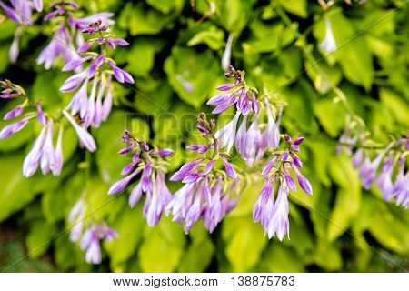 bush of violet flowers Hosta in a rustic garden