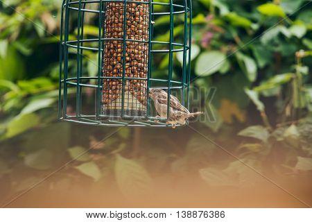 Tree Sparrow feeding from a bird feeder