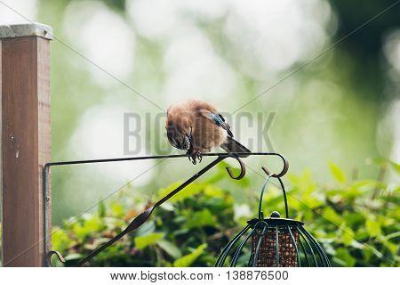 Eurasian Jay (garrulus Glandarius) Adult, Peeling Peanut Between Claws, Perched On Iron Bar, Leiden,