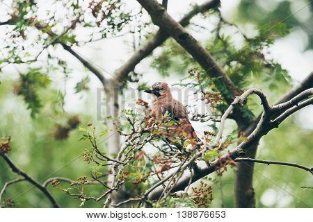 Eurasian Jay (garrulus Glandarius) Adult, Perched On Tree Branch In Garden, Leiden, The Netherlands,
