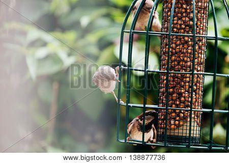 Tree Sparrow (passer Montanus) Group At Hanging Bird Feeder, Europe