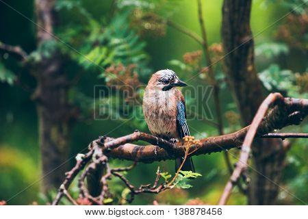 Eurasian Jay (garrulus Glandarius) Perched On A Branch In The Rain