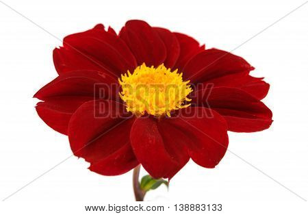 Dahlia red flower on a white background