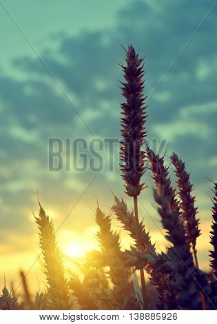 Silhouette of a wheat field in the sunset