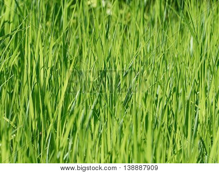 Natural Background Of Green Grass On Summer Day.
