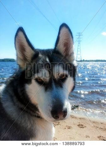 one adult dog breed an alaskan malamute sits on sand on the beach, a portrait of the muzzle looking in the face