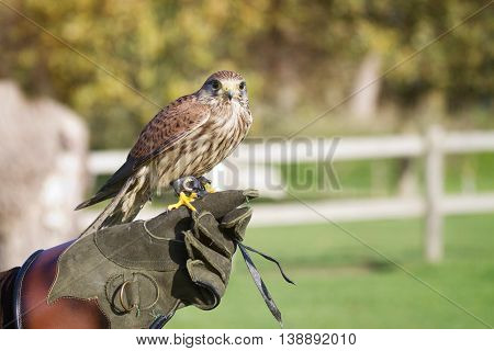 Trained Hawk, Used In The Sport Of Falconry, Stands Perched On The Trainer's Gloved Hand