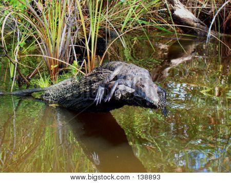 Crocodile In The Sun