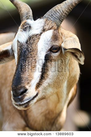 Close up Goat