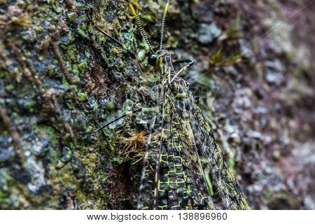 Insect with transparent camouflage wings on a tree's bark. Madagascar