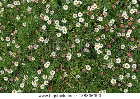 Carpet of Santa Barbara daisy, Spanish daisy flowers in white, pink growing on green grass in Australia. (Erigeron karvinskianus)