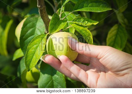 Close up of female hand holding unripe green apple on a branch. Agriculture and farm concepts.