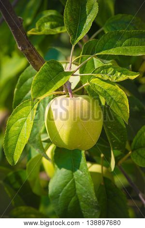 Close up of green unripe apple on a branch in orchard. Agriculture and season concepts.
