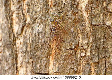 Cicada on a tree bark. South India
