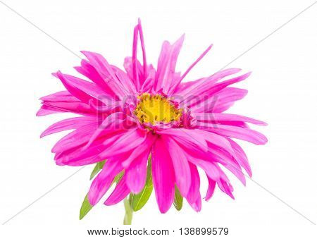chrysanthemum flower spring on a white background