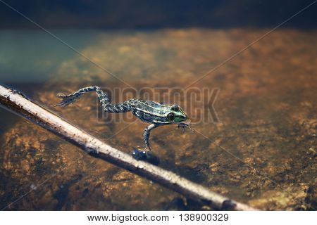 Frog in the shallow water of river