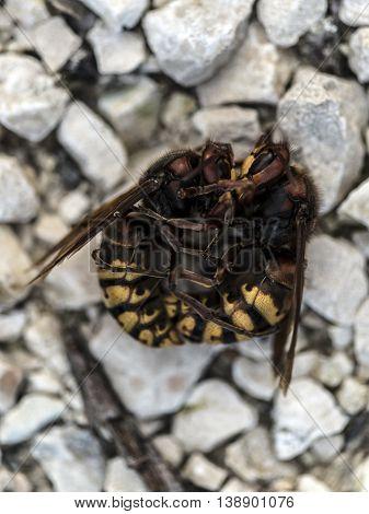 Fighting big hornets on the ground macro closeup