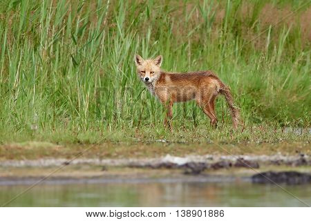 Red fox with wet fur standing at the beach with vegetation in the background