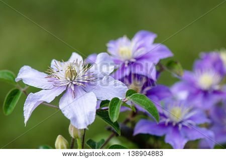 Blue clematis flowers with leaves on a blurred green background