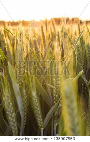 Sunset or sunrise golden hour over a field of wheat crops growing on farm