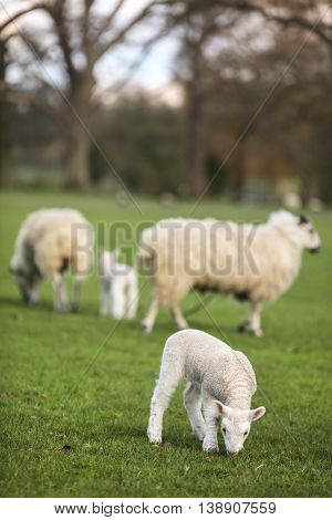 Sheep family and young baby spring lambs in a green farm field
