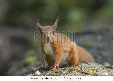 Red Squirrel, Sciurus Vulgaris, On A Tree Trunk, Looking Forwards