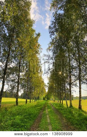 footpath between birches under blue sky