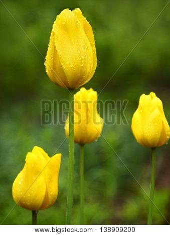 Yellow spring tulips in garden, green grass background.