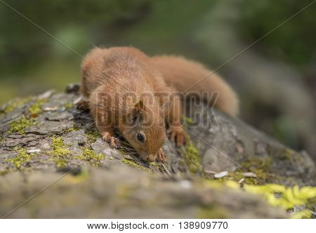 Red Squirrel, Sciurus Vulgaris, On A Tree Trunk, Sniffing
