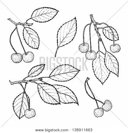 Hand drawn cherry set isolated on vintage background.Retro sketch style vector eco food illustration.Isolated berries on white background