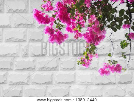 Pink Bougainvillea flower on grey brick wall background