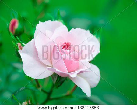 Flower pink rose on a natural background