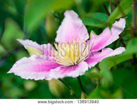 Clematis flower on natural background , there are pictures of this series