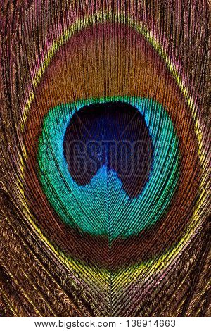 Vertical background of peacock bright and colorful feathers closeup. Macro