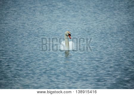Mute swan (Cygnus olor) in the lake