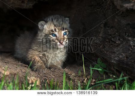 Baby Bobcat Kitten (Lynx rufus) Looks Out From Log - captive animal