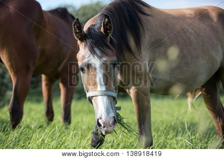 Young horse eating grass in the summer pasture