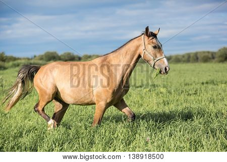 Young buckskin horse on the summer meadow