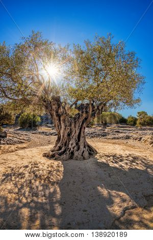 Old Big Olive Tree Against Sunset In Provence, France